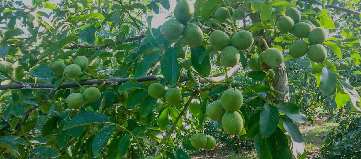 slayt2-chandler-walnut-sapling-plants-2